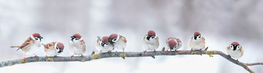 Poster de jardin Oiseau panoramic photo with a group of small funny birds sparrows sit on a branch in different poses in a winter Park