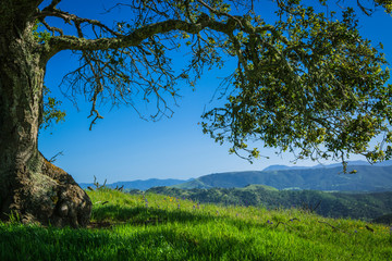 An oak tree frames a springtime scene of a green, grassy meadow dotted with purple and yellow wildflowers with a distant view of mountains