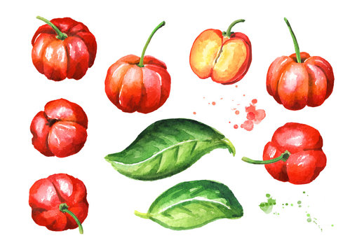 Fresh ripe Acerola Barbados cherry set. Whole and cut fruits. Watercolor hand drawn illustration isolated on white background