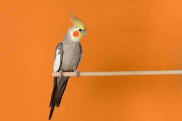 Foto op Canvas Papegaai Cockatiel isolated on orange background, best parrot pictures. copy space