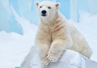 Tuinposter Ijsbeer polar bear in snow