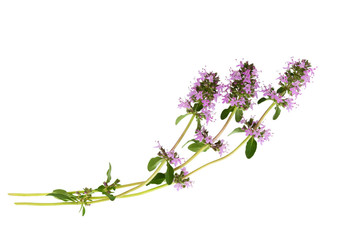 Obraz Salvia sclarea  or clary sage on white. - fototapety do salonu