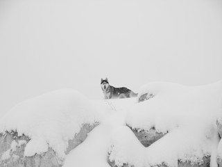 wolf stands on the snowy top of a mountain against the gray winter sky. bottom view. Black and white photography
