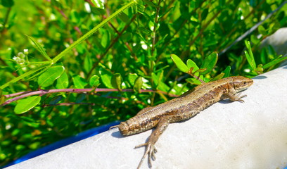 Lizard without tail lies on a wall, protected by a green hedge and enjoys the sun