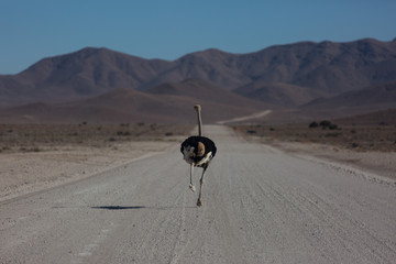Frightened thick ostrich running with high speed along the road in Namibia desert