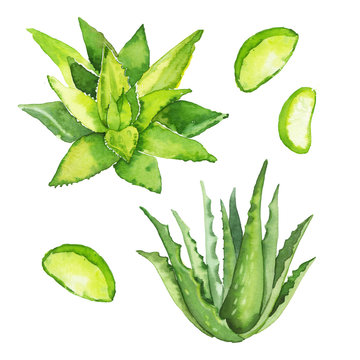 Watercolor hand painted botanical aloe vera plant illustration set isolated on white background