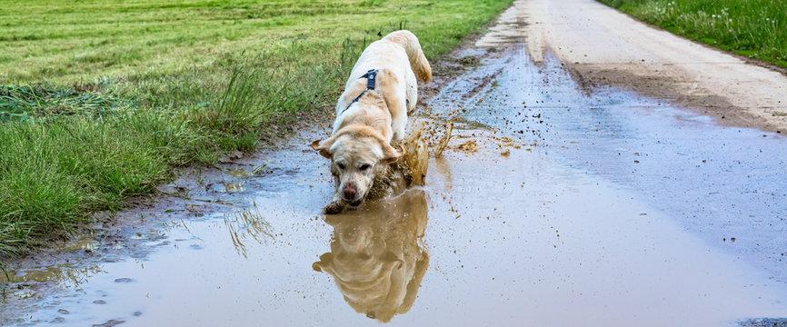 Labrador rennt durch eine Pfütze