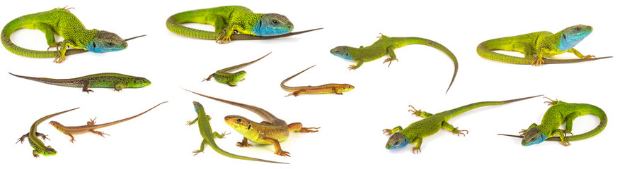 Green lizard set collection isolated on white background Wall mural