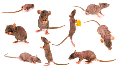 rat dumbo gray collection set isolated on white background Wall mural