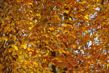 Im Sonnenlicht herbstlich gelb leuchtende Blätter