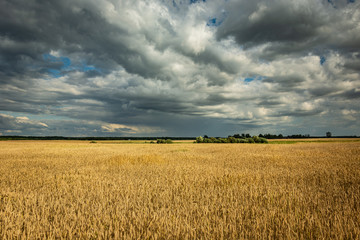 Large wheat field and gray-white clouds in the sky