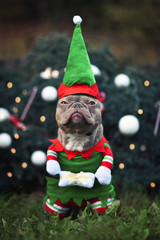Funny lilac colored French Bulldog dog with not amused facial expression wearing a christmas elf costume with arms holding present