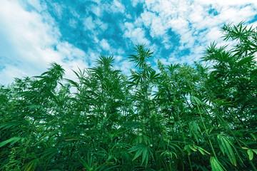 Cultivated industrial hemp farm field Fototapete