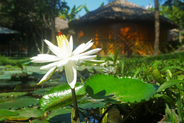 White water lily blooming on water