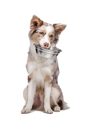 dog holds a bowl for food in his teeth. healthy food for pets. B