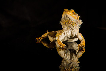 Agama bearded dragon reptile on black background Wall mural