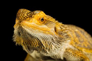 Agama bearded dragon reptile on black background