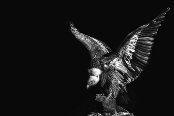 Portrait of a eagle on black background. gyps fulvus. griffon. scavenger. predatory bird Wall mural