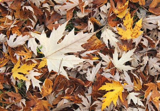 colori d'autunno; tappeto di foglie di acero argenteo (Acer saccharinum)