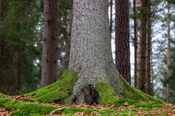 The trunk of a large spruce tree. Moss growing on the lower parts of a coniferous tree.