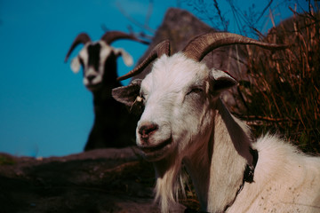 Goats on a mountain in Norway