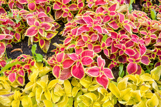 Garden coleus plants with bright red leaves cover themselves with a flower bed