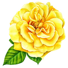 yellow  rose on a white background, watercolor illustration, flora design, botanical painting