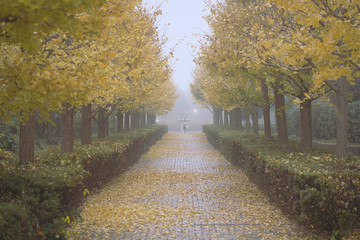 Tokyo,Japan-November 25, 2019: Foggy Gingko trees along a lane in early winter