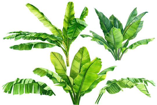 Jungle botanical watercolor illustrations, floral elements, a set of banana palms, green leaves