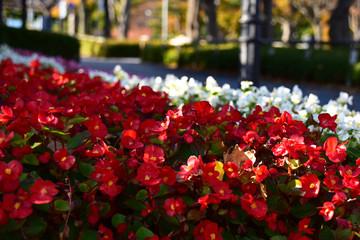 秋の花壇のベゴニア