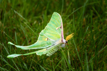Luna moth side view surrounded by green grass Wall mural
