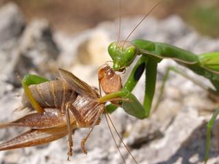 european mantis religiosa, feeding grasshopper