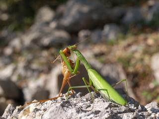 european mantis religiosa, couple
