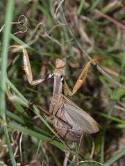 european mantis religiosa