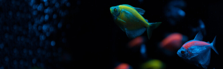 Selective focus of aquarium fishes with neon light on black background, panoramic shot