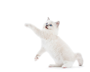 Ragdoll cat, small kitten stretching his paw and looking above