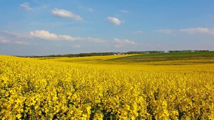 Wall Mural - Great canola field in sunlight.