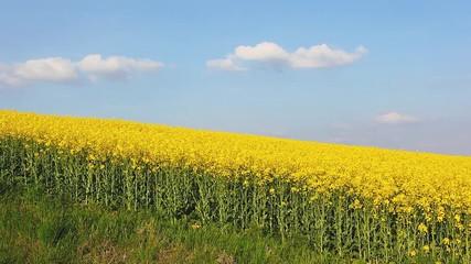 壁紙(ウォールミューラル) - Great canola field in sunlight.