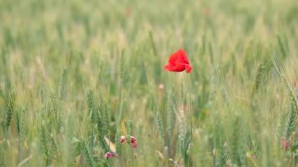 壁紙(ウォールミューラル) - Close up poppies on field. Wild flowers in springtime.