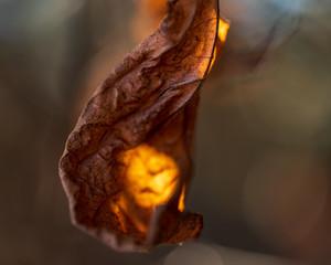 Garden Poster Brown Backlit Fall Leaf