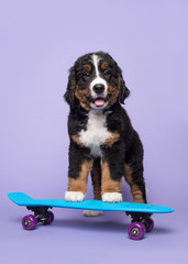 Cute bernese moutain dog puppy on a skateboard on a purple background in a vertical image