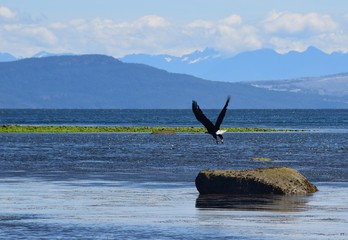 mature Bald Eagle flying low over the ocean, Brisitsh Coulumbia mainland mountains in the background, Comox Valley BC Canada