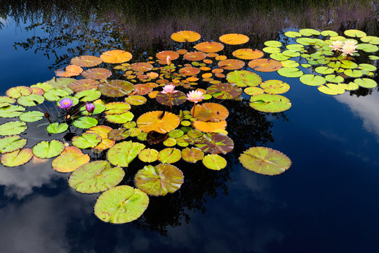 Lotus water lilies with water reflection of pink lavender flowers at the Rock Garden of the Royal Botanical Gardens Burlington Ontario Canada