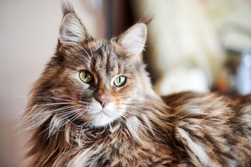 Keuken foto achterwand Kat Maine coon cat, close up. Funny, cute cat with marble fur color. Largest domesticated breeds of felines. Soft focus.