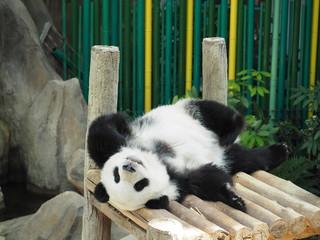Fototapeta 寝起きのパンダ
