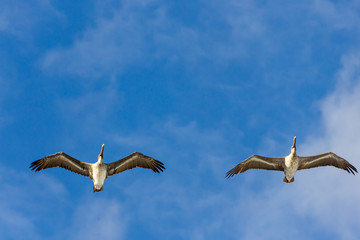 Two pelicans are flying on blue sky