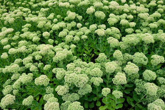 Abstract pattern of chartreuse flower heads and green leaves of Autumn Joy Sedum in a garden after rain
