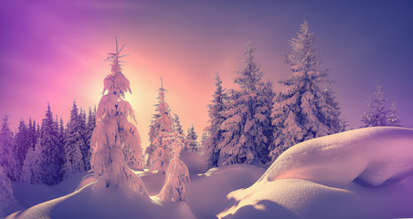 Fantastic Winter landscape. Majestic sunset in the winter forest in alps. Sunlight sparkling in the snow. Scenic image of fairy-tale woodland in sunlit during Pink sunset. Christmas background