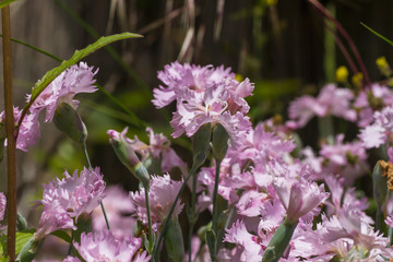 Carnation pinkish purple flowers