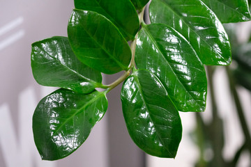 Papiers peints Zanzibar A branch of a home flower with large shiny green leaves. Zanzibar Gem plant on a white wall background. zamioculcas with thick bright green leaves.